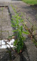 Ongewenste plant afbeelding
